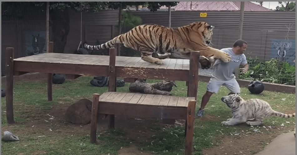 tigre tenta atacar tratador - Homem é atacado por tigre, vídeo mostra exato momento; confira